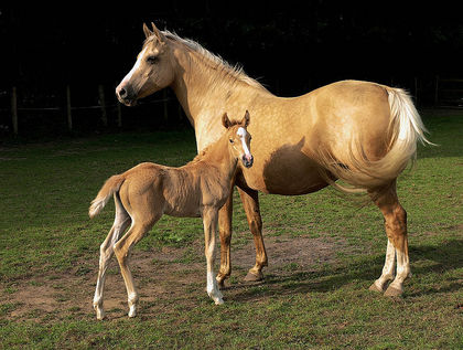 "解説	 English: ""Golden girl"" – Horses (unknown breed, Isabelle or Palomino coloured): Mare with a foal, somewhere in Surrey, UK 日付2007年7月16日原典flickr.com 作者(a friend of) Kvetina-Marie"