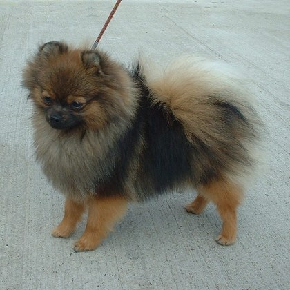 Pomeranian_orange_sable_600.jpg