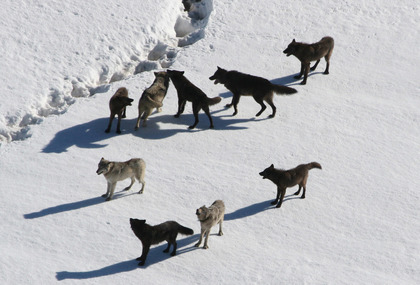 Yellowstone_Wolves.jpg