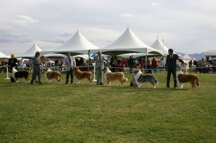 at-ay Shelties.jpg